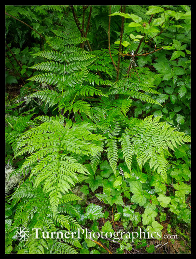Spreading Wood Fern