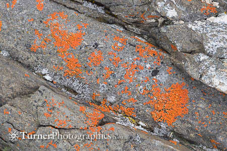 Elegant Sunburst Lichen