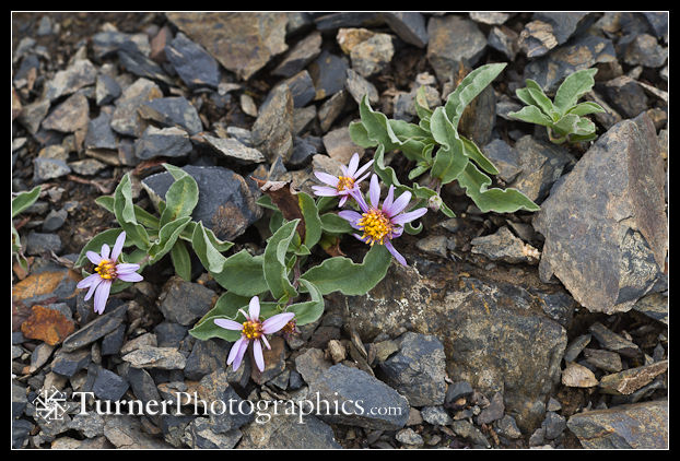 Arctic Asters on scree [Aster sibiricus (Eurybia sibirica)]